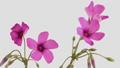 花 開花 開くの動画 31936241