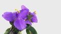 花 開花 開くの動画 31936249
