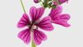 花 開花 開くの動画 31936261