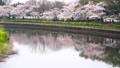 満開の桜並木 31982122