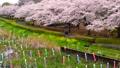 鯉のぼりと桜並木 31982123