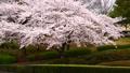 満開の桜並木 31982140