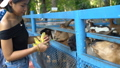 Happy young Thai girl feeding goats in zoo slow motion 31990956