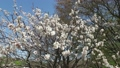 梅の花(移動撮影) 32010693