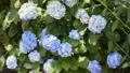 紫陽花 アジサイ 動画 ムービー 青 白 緑 ホウィト ブルー グリーン  32056428