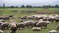 animal, sheep, pasture 32112365