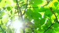 Fresh green leaves Sunlight early summer Eco image image 32172062