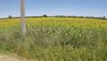 南仏、アルルのひまわり畑、移動ショット 32364310