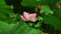 花 お花 フラワーの動画 32379898