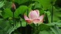 花 お花 フラワーの動画 32379909