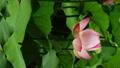 花 お花 フラワーの動画 32379910