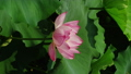 花 お花 フラワーの動画 32379923