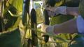 きゅうり キュウリ 胡瓜の動画 32411599
