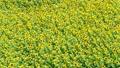 sunflower field, field of sunflowers, full bloom 32415860