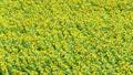 sunflower field, field of sunflowers, full bloom 32415861