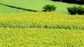 sunflower field, field of sunflowers, full bloom 32415862