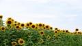 ヒマワリ 花 植物の動画 32488526