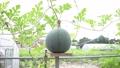 台に乗ったスイカ 西瓜 すいか 野菜 実る 夏 栽培 季節 フード ライフスタイル 菜園 葉 植物 32498884