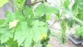 スイカ 西瓜 すいか 野菜 実る 夏 栽培 季節 フード ライフスタイル 菜園 葉 植物 32498886