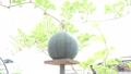 台に乗ったスイカ 西瓜 すいか 野菜 実る 夏 栽培 季節 フード ライフスタイル 菜園 葉 植物 32498887