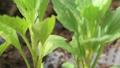 苗 アスt- 花 花壇 菜園 植物 葉 緑 環境 エコ 32513351