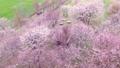 ดอกซากุระบาน,ซากุระบาน,ดอกไม้บานเต็มที่ 32513607
