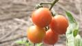 トマト 赤い 実る 栽培 畑 農業 フード 野菜 菜園 32514166