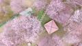 ดอกซากุระบาน,ซากุระบาน,ดอกไม้บานเต็มที่ 32534321