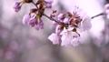 桜 (フィクス撮影) 32556004