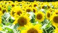ヒマワリ 花 植物の動画 32566342