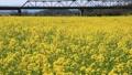 菜の花畑(愛媛県大洲市) フィックス 32683089