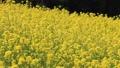 菜の花畑(愛媛県大洲市) フィックス 32683091