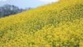 菜の花畑(愛媛県大洲市) フィックス 32683092