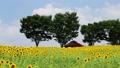 sunflower field, white cloud, bloom 32697866
