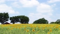 sunflower field, white cloud, bloom 32697869