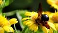 꽃의 꿀을 빨아 꿀벌 32787813