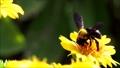 꽃의 꿀을 빨아 꿀벌 32787814