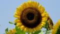 ひまわり 向日葵 花の動画 32880290