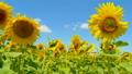 ハチ ミツバチ 蜂の動画 32890735
