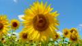 ハチ ミツバチ 蜂の動画 32890737