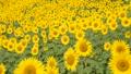 花 植物 向日葵の動画 32899120