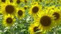 向日葵 ひまわり 花畑の動画 32900573