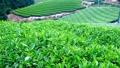 山の茶畑 フィックス 32986545