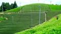 Mountain tea field 32986548
