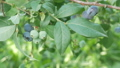Blueberry branch. Mature and green berries 33003352