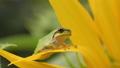 청개구리 일본 청개구리 Hyla japonica 청개구리 아이 개구리 개구리 개구리 33025955