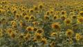 ひまわり畑(パンニング撮影) 33077937