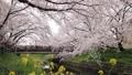 4月 サクラの岩倉五条川-愛知県岩倉市- 33089753