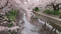 4月 サクラの岩倉五条川-愛知県岩倉市- 33089754