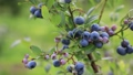 blueberries, blueberry, fruit 33108667
